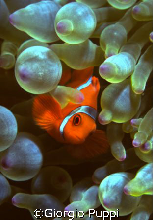 Clown Fish - Wakatobi by Giorgio Puppi