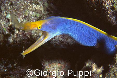 Murena Nastro Blue - Wakatobi by Giorgio Puppi