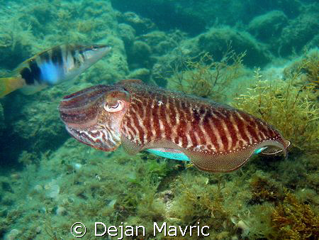 Cuttlefish passing by. Nice zebra pattern on her back. 1/... by Dejan Mavric