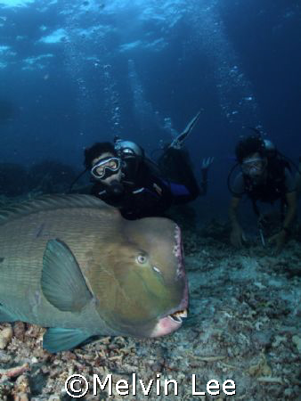 Divers and bumphead parrotfish by Melvin Lee