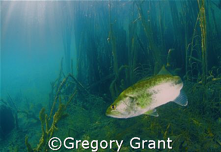 fresh water bass in south africa. by Gregory Grant