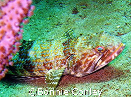 Lizardfish seen at Tobago June 2007.  Photo taken with a ... by Bonnie Conley