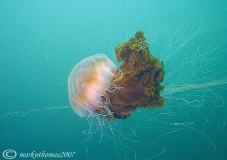 Lion's mane jellyfish. Isle of Eigg, Inner Hebrides. 20mm. by Mark Thomas