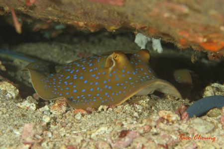 Bluespotted stingray at anilao with my Canon EOS 350D by Taco Cheung