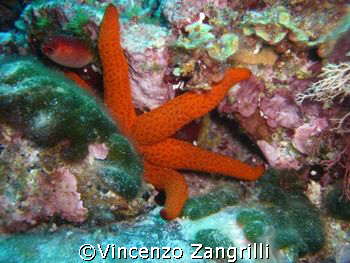 Shy Marine Star taken in Sardinia. Depth ca.32 M by Vincenzo Zangrilli