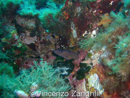 Mooray Eel in Sardinia.  by Vincenzo Zangrilli