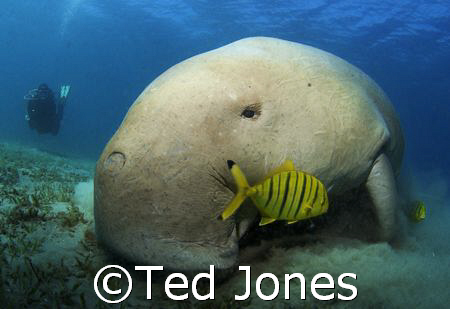 Dennis the Dugong by Ted Jones