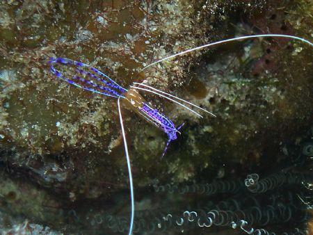 Tiny Blue Shrimp by Eliel Alfon