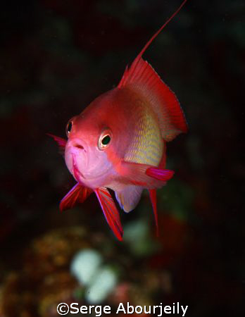 Male Anthias, shot with eos 30d and inon x2 housing. by Serge Abourjeily