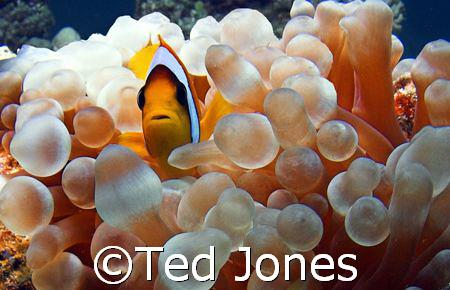Clownfisch by Ted Jones