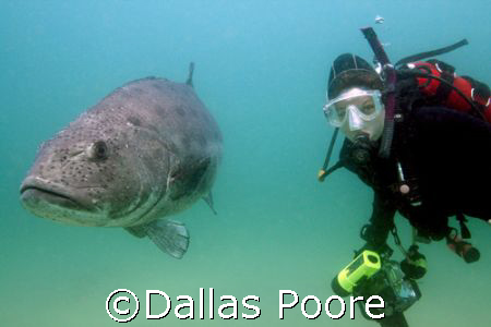 Diver Laura Poore with a giant black sea bass.  We estima... by Dallas Poore
