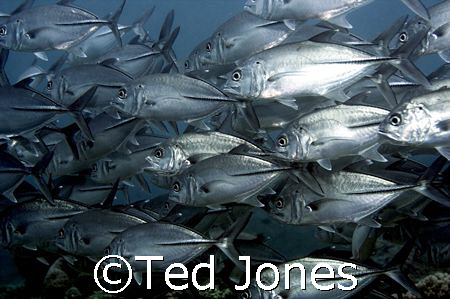 Big eye trevally and they were big! :) by Ted Jones
