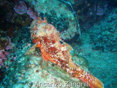 Scorpion fish having a nap by Vincenzo Zangrilli