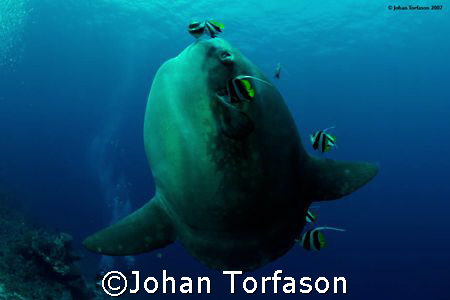 Mola mola, Bali, Nusa Penida.