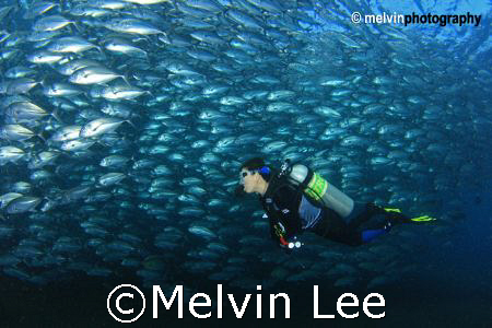Schooling jack with diver , Tulamben Liberty wreck , Bali by Melvin Lee