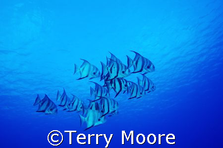 Atlantic Spade Fish in clear blue waters of the Turks & C... by Terry Moore