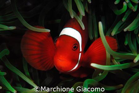 Clown red: Nikon D200 . 60 macro, two strobo. Walea August by Marchione Giacomo