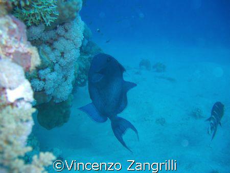 Marsa Alam, Abu Dabbab, Blue Triggerfish dancing on the r... by Vincenzo Zangrilli