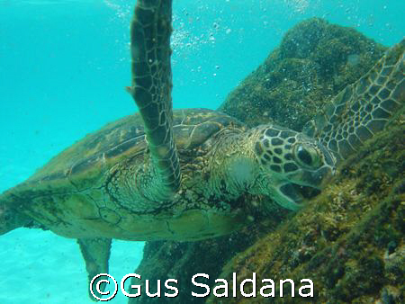 Green Sea Turtle, South Kohala Coast, Hawaii - 2007 AUG 06 by Gus Saldana