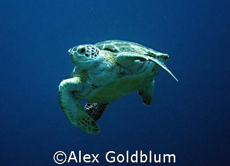Turtle, Bonaire by Alex Goldblum