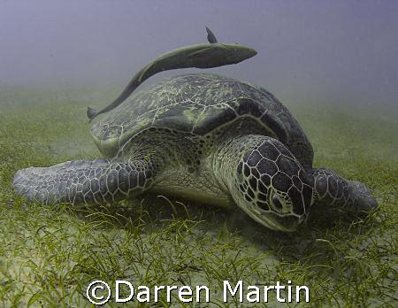 Turtle and Remora Marsa Abu Dabab by Darren Martin