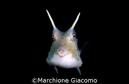Cowfish. Nikon D200 , 60 micro , two strobo. Lembeh stree... by Marchione Giacomo