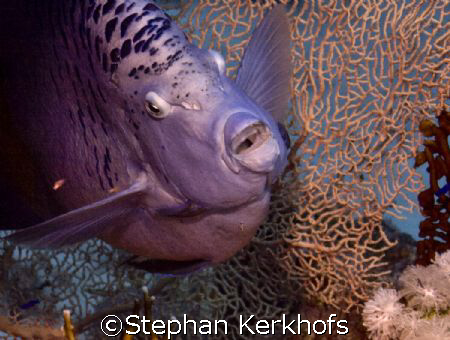 Marsa Bareika, Ras Ghozlani inside Red Sea Angelfish by Stephan Kerkhofs
