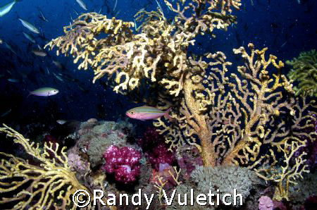 ' reef colors'   OLY 50 50  Light & Motion housing  sea &... by Randy Vuletich
