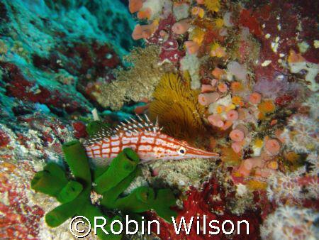 Longnose hawk fish Great Barrier Reef Australia.Taken wit... by Robin Wilson