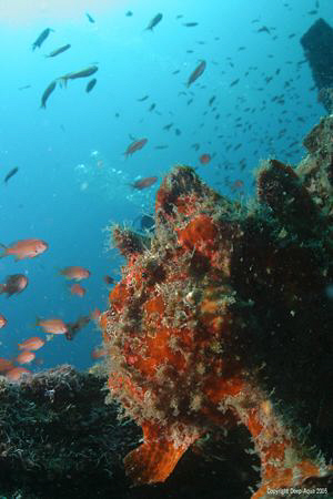 The Midday Watch, Frogfish surveys lunch on the Wreck by Gary Stokes