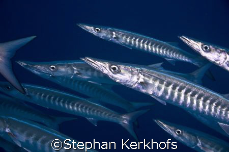 Holding your breath, surrounded by barracuda's, to take a... by Stephan Kerkhofs