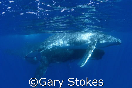 Mother watches over playful Humpback calf by Gary Stokes