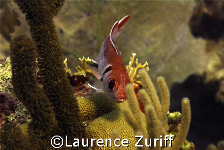 Curtain Bluff Morgans Reef by Laurence Zuriff