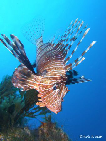 Lionfish are one of my favourite subjects to photograph a... by Maria Munn