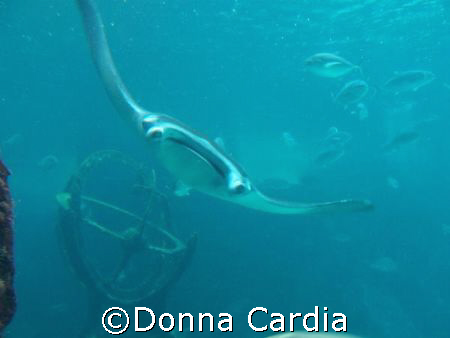 Manta in the Dig at Atlantis. by Donna Cardia