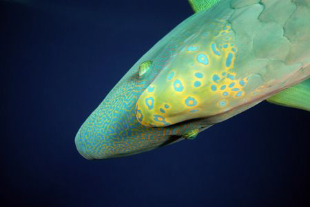 Napoleon wrasse. by Dray Van Beeck