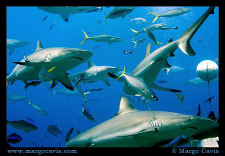 Reef Sharks in Australia by Margo Cavis