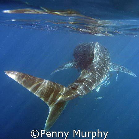 Whaleshark by Penny Murphy