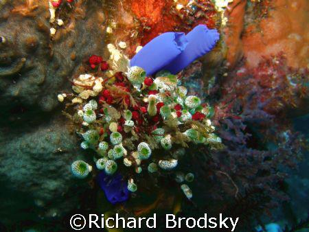 tunicates by Richard Brodsky