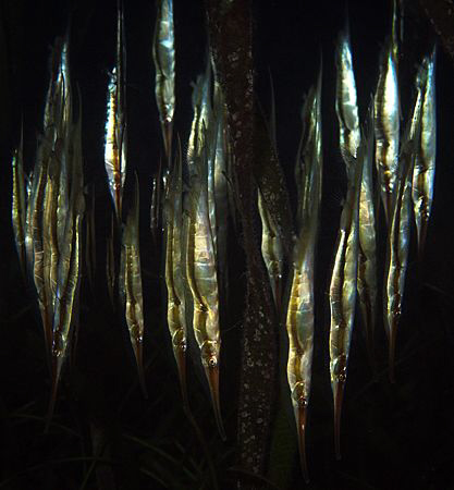 """razor fishes, ... with a little help from my friend """"dusk... by Henry Jager"""