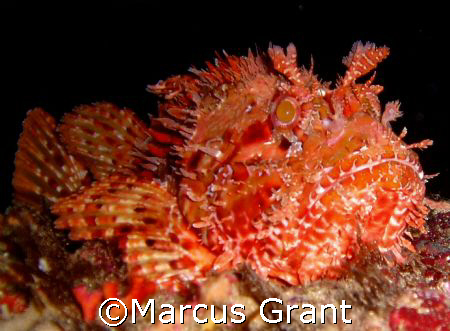This big red Scopion fish was taken at Lantern Point on c... by Marcus Grant