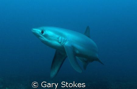 Inquisitive Thresher Shark, Malupascua, Phils. Taken at 7... by Gary Stokes