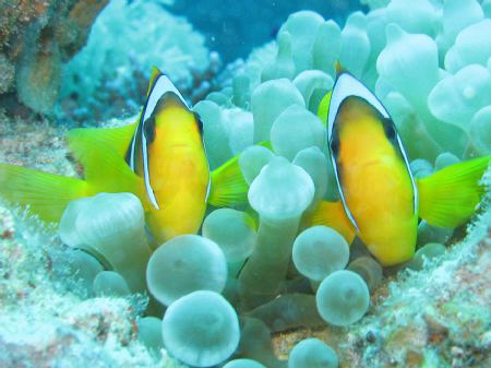 Anemone Fish in Dahab, Canon Powershot G7, November 2007 by Dominique Schuelin