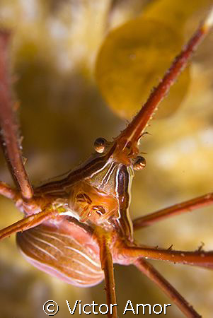 Arrow crab by Victor Amor