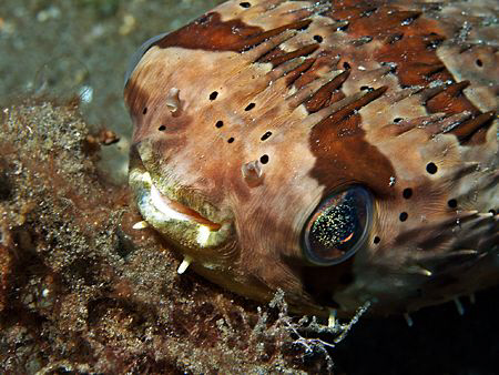 Freckled Porcupinefish (Olympus E330, Macro lens 50mm) by Henry Jager