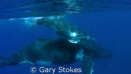The ones the whalers won't be slaughtering this year!! by Gary Stokes
