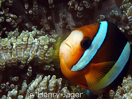Anemona fish from Dauin (Olympus E330, Macro lens 50mm) by Henry Jager