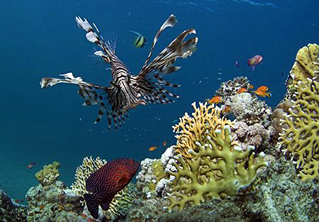 Lion fish prowling a reef by Ted Jones