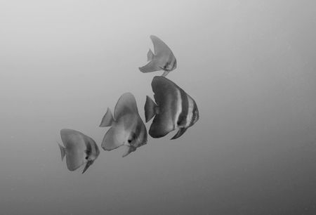 Batfish in black & white by Andy Lerner