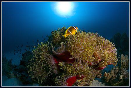 anemone fish by Dejan Sarman
